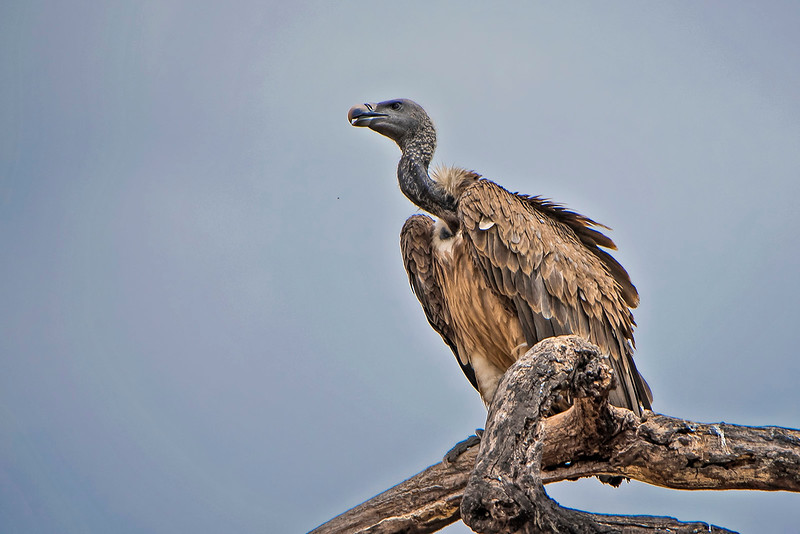 Vulture on a tree