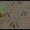 Canada Goose Tracks