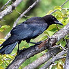 Juvenile American Crow