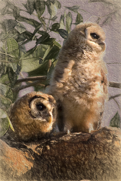 Barred Owls Art