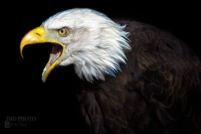 The Elder. An Old American Bald Eagle