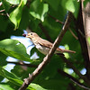 Swainson's Thrush Eating A Mulberry
