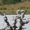 Bubulcus ibis ibis – Western Cattle egrets 1