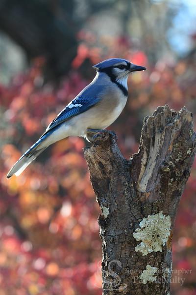 Blue Jay Bird Photograph