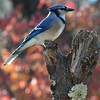 Blue Jay Bird Photograph