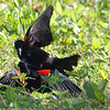 Red-winged Blackbird Death Match 10
