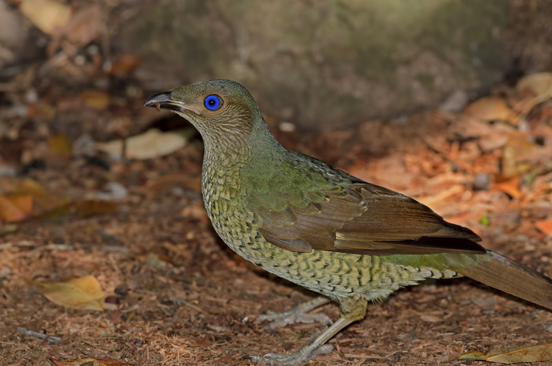 Female Bower Bird, Gold Coast. Qld