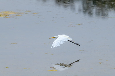 Great Egret in Flight, Reflected