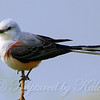 Female Scissor-Tailed Flycatcher