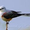 Female Scissor-Tailed Flycatcher