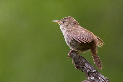 House wren--that was really a LONG ways away! It would fly, then come back to this perch and sing, then do it all over again. I am amazed that I could crop, sharpen, and de-noise and get this photo.