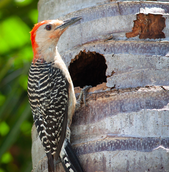 woodpecker vs starling