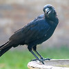 One Of The Crows In My Yard