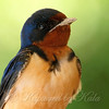 Portrait Of A Female Barn Swallow