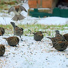 Flock Of Blackbirds