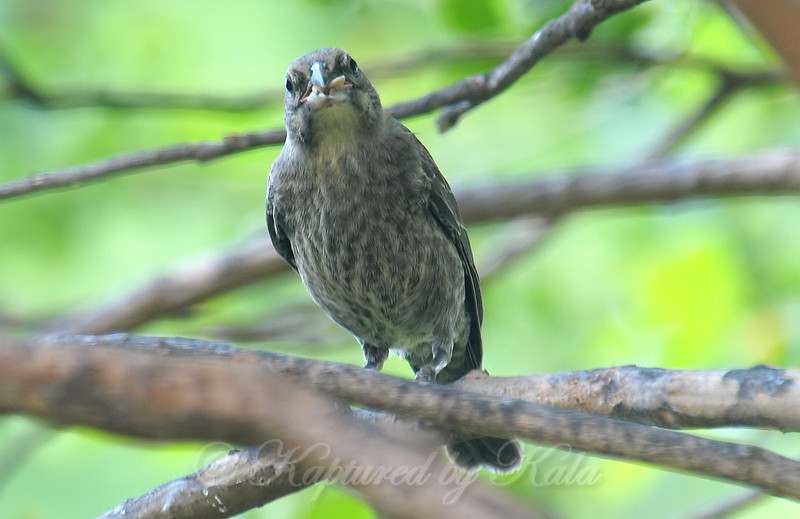 Baby Cowbird With A Mouthfull Of Food Papa Cardinal Delivered