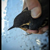 Varied Thrush Rescue