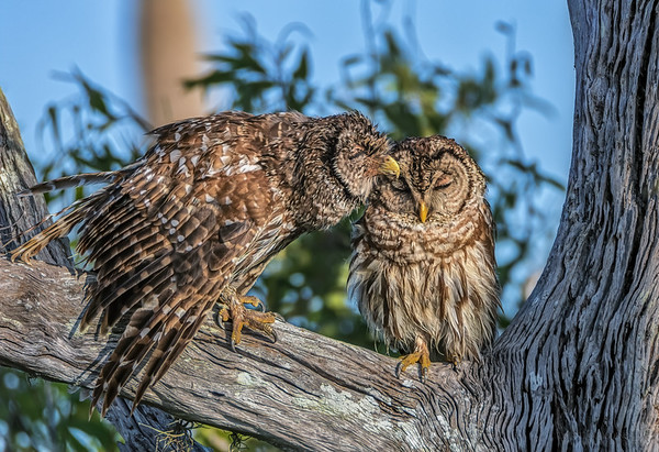 Barred owl lovin'