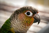 Yellow Sided Green-Cheeked Conure
