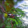 Chestnut-backed Chickadee ~ Parus rufescens