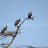 Bostrychia hagedash – Hadada ibis 3