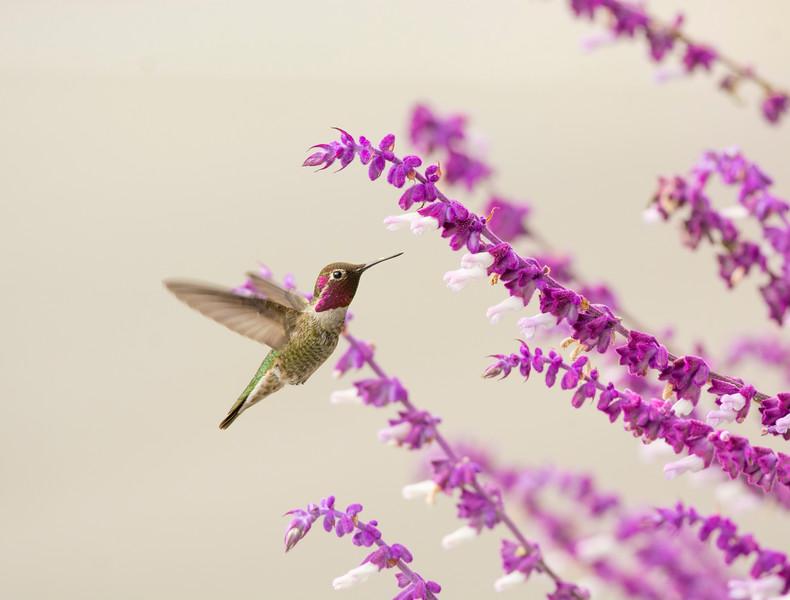Hummingbird and Sage