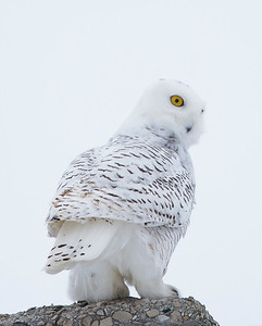 Snowy Owl Turn