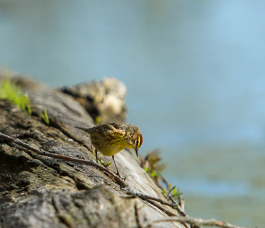 Palm Warbler in Blue