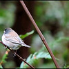 Dark-eyed Junco~ Junco hyemalis