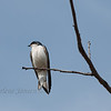 bird; tree swallow; wildlife; spring 2014; wisconsin; darlene jansen photography;