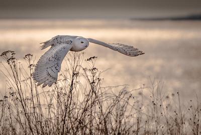Snowy sunset wings spread