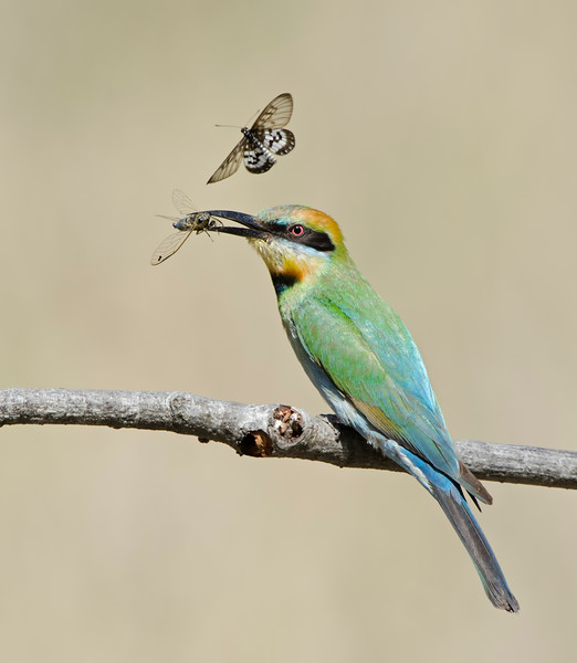 Rainbow Bee-eater, The Spit, Gold Coast. Qld.