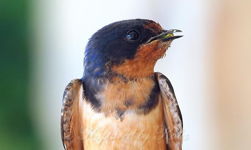 Papa Barn Swallow Looks Up Towards His Hungry Babies