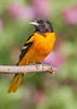 Male Baltimore Oriole arriving in Minnesota in the spring