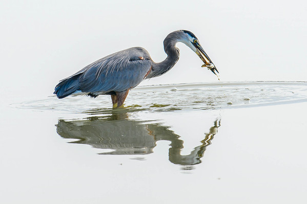 Heron Fishing in a High Key Studio setup
