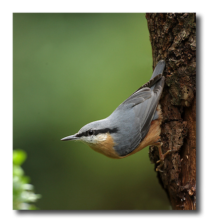 Nuthatch in classic pose