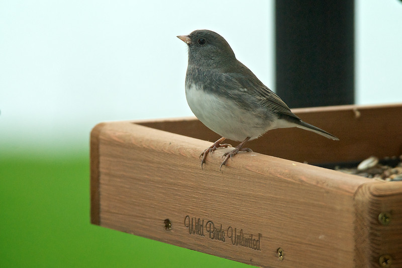 Dark Eyeed Junco