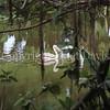 Pelecanus rufescens – Pink-backed pelican