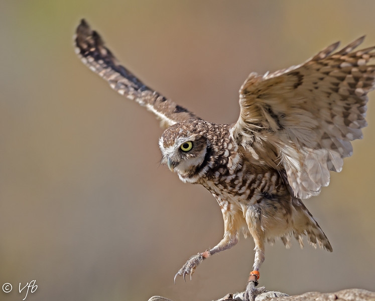 Burrowing Owl Dance