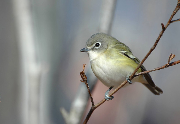 Cassin's Vireo - Dartmouth, Nova Scotia