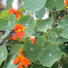 Archilochus colubris – Ruby throated hummingbird on Nasturtium