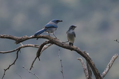 Woodhouse's Scrub-Jay (Aphelocoma woodhouseii)