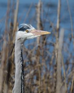 Grey Heron at Farmoor 13th March 2017 3