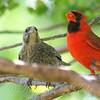 Papa Cardinal Is Raising A Baby Cowbird