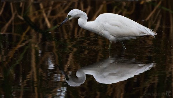 Juvenile little blue heron in white phase