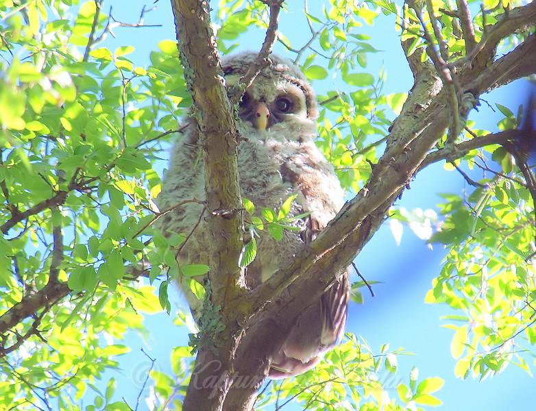 Baby Owl Peeking Thru The Leaves