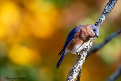 Curious Blue Bird