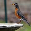 Skinny Robin