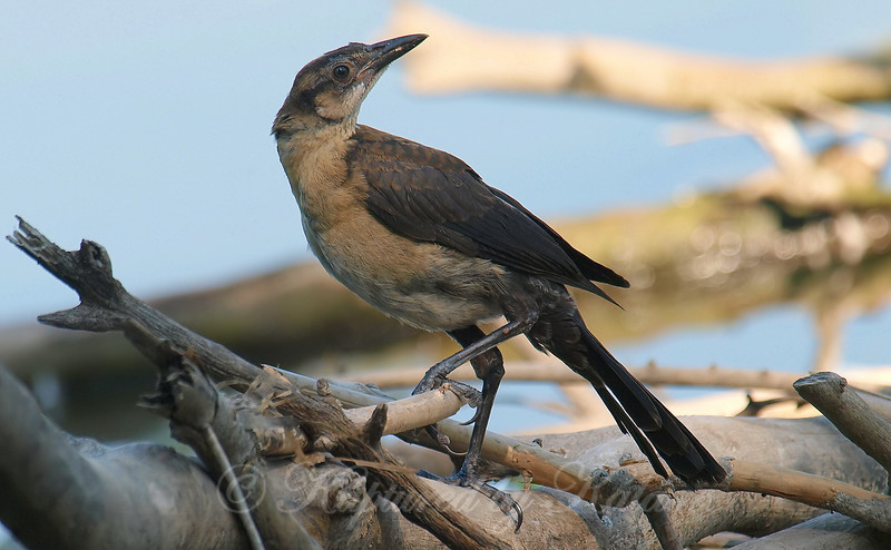 The Other Baby Grackle