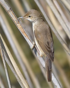 Reed Warbler at Otmoor 26th May 2017 - Acrocephalus scirpaceus 2